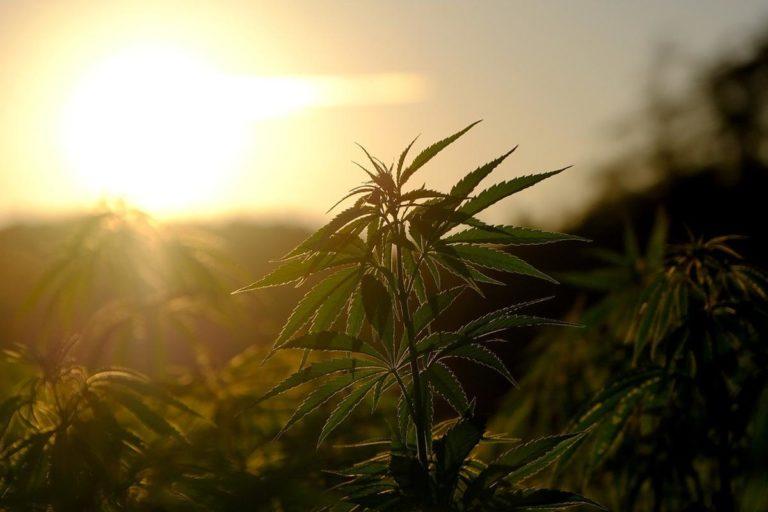 Czy ziarna marihuany przemysłowej są trudno dostępnym produktem?